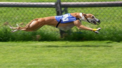 Greyhound Racing Funding Stripped Away In West Virginia