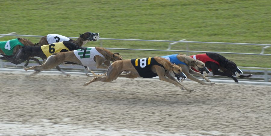 ARC To Continue Financial Support For Greyhounds During COVID-19
